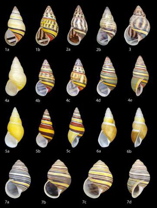 Amphidromus snails from Timor-Leste