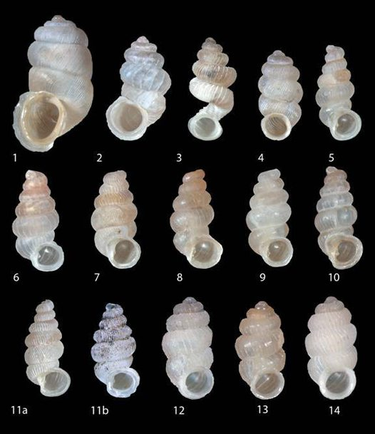 Land snails of Timor-Leste 2