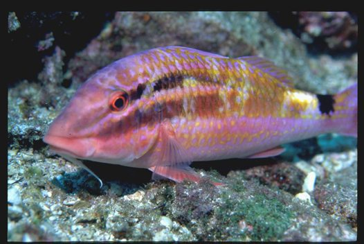 A Blacksaddle Goatfish at South Solitary Island