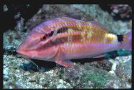 Blacksaddle Goatfish at South Solitary Island