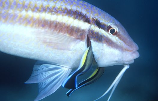 Common Cleanerfish cleaning the gills of a Blacksaddle Goatfish