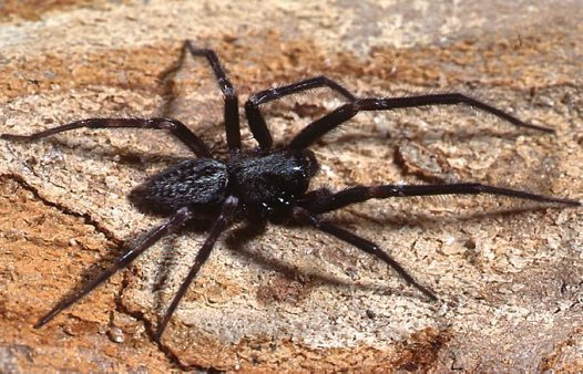 Black house spiders images