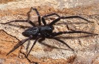Male Black House Spider