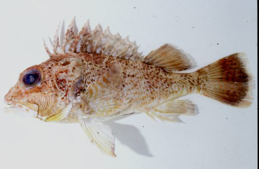 A Blackspotted Gurnard Perch from Ocean Reef
