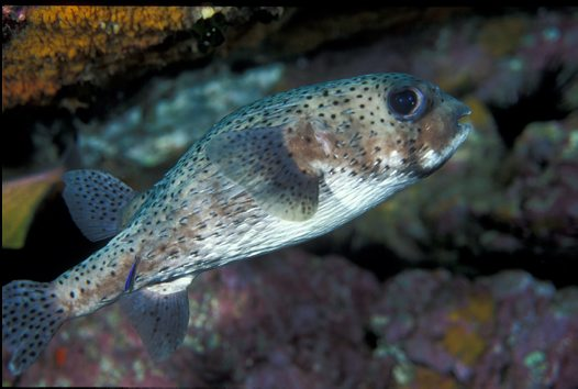 Black-spotted Porcupinefish at North Solitary Island