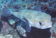 A Black-spotted Porcupinefish at Redang Island