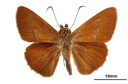 Dark grass-skipper