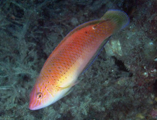 A Black-spotted Wrasse at Fly Point, Port Stephens.