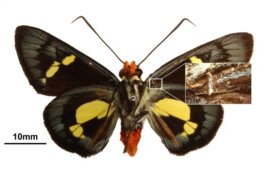 Male of regent skipper showing location of frenulum