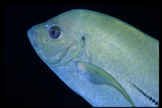 A Black Trevally at Bougainville Reef