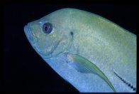 Black Trevally at Bougainville Reef