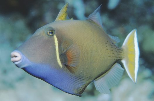 Eye-stripe Triggerfish at the Great Barrier Reef
