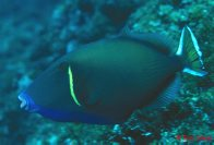 Eye-stripe Triggerfish at North Solitary Island