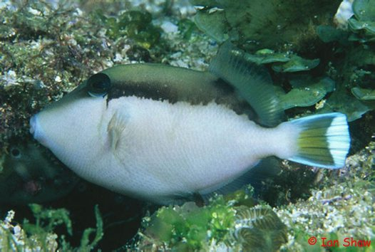 A juvenile Eye-stripe Triggerfish at North Solitary Island