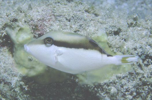 Juvenile Eye-stripe Triggerfish at the Cod Hole