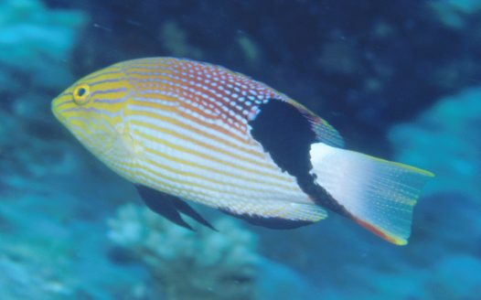 Blackfin Pigfish at Small Detached Reef