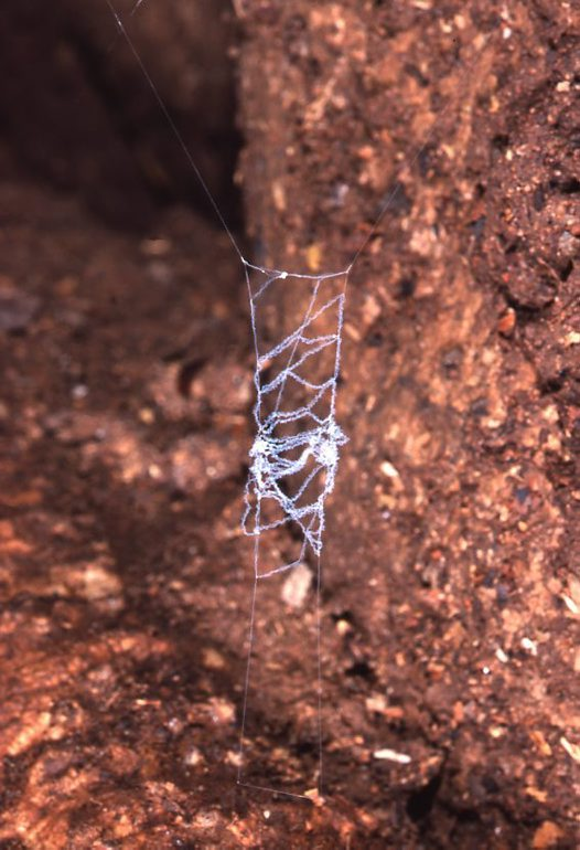 A catching platform for a Carrai Cave Spider