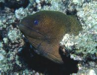 Giant Moray, Gymnothorax javanicus