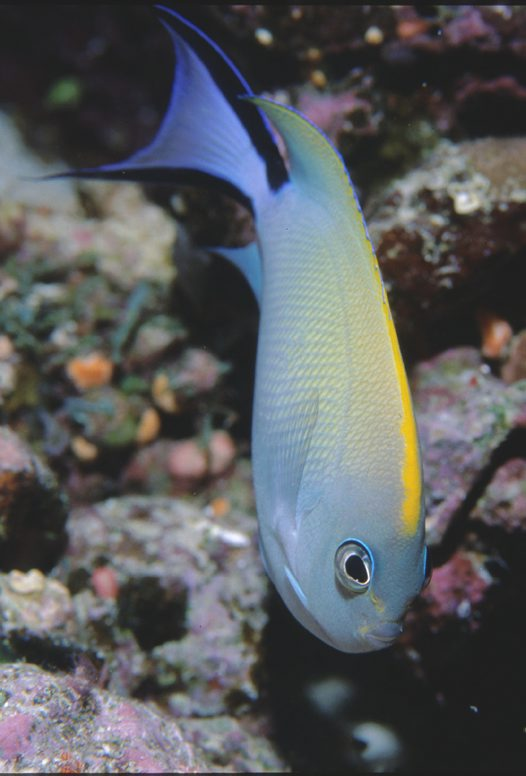 A female Blackspot Angelfish at Wishbone Reef