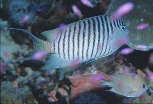A male Blackspot Angelfish at Northern Small Detached Reef