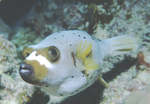 A Blackspotted Pufferfish at the Great Barrier Reef