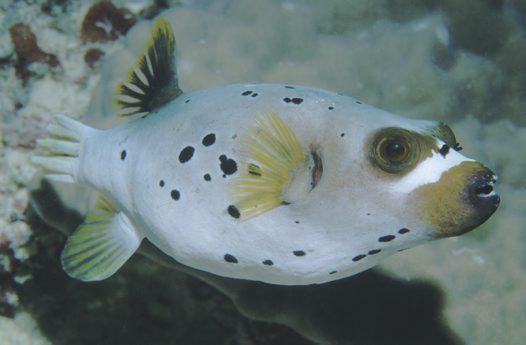 Lateral view of a Blackspotted Pufferfish