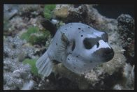 A Blackspotted Pufferfish photographed at night