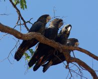 Red-tailed Black Cockatoos sitting on a branch