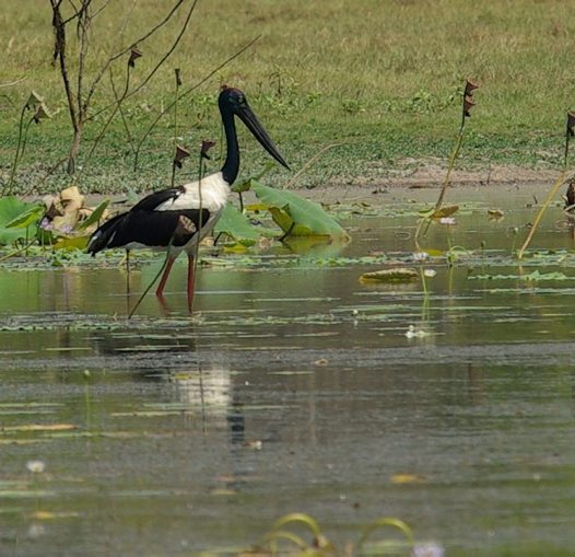 Black-necked Stork wading