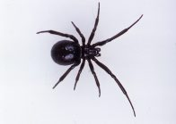 A female Cupboard Spider, Steatoda sp.