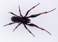 A male Cupboard Spider, Steatoda sp.