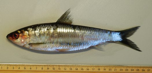 Freshwater Herring, Potamalosa richmondia