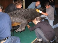 Moving the big croc 2
