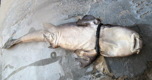 Blind Shark found dead near Shelly Beach