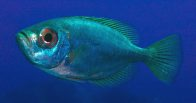 A Blotched Bigeye at Solitary Island