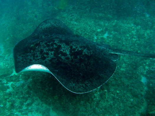 A Blotched Fantail Ray at Julian Rocks