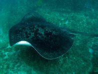 Blotched Fantail Ray at Julian Rocks