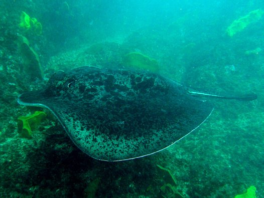 Lateral view of a Blotched Fantail Ray at Julian Rocks