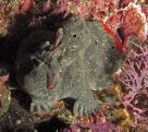 Red-fingered Anglerfish at the Pinnacle