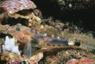 A Blotched Sand Goby at North Solitary Island