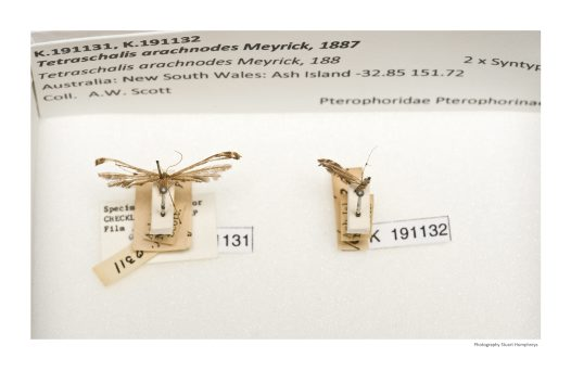 Tetraschalis arachnodes from the Scott collection