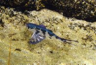 A juvenile Bluebottle-fish in a rockpool
