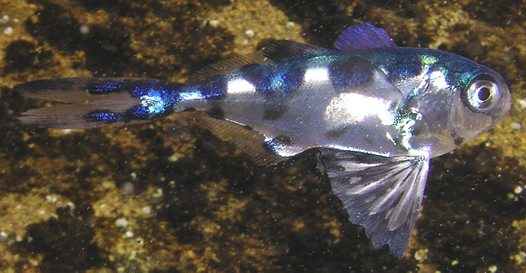 A juvenile Bluebottle-fish