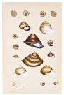 Land shells by Helena Forde (Scott), Plate 8
