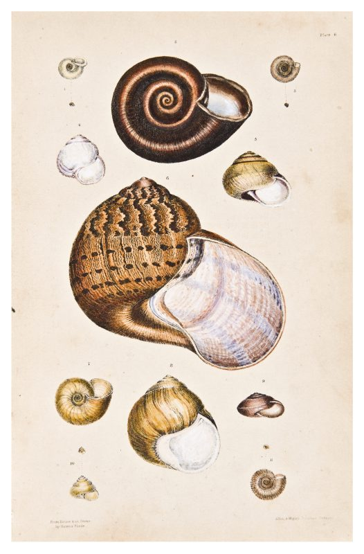 Land shells by Helena Forde (Scott), Plate 6