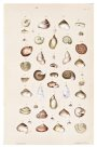 Land shells by Helena Forde (Scott), Plate 17