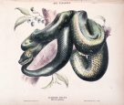 Illustration of a Diamond Snake by Helena Forde (Scott)