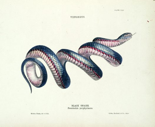 Illustration of a Black Snake by Helena Forde (Scott)
