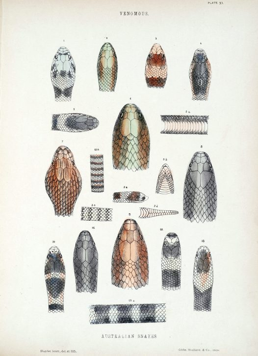 Illustration of Australian snakes by Harriet Scott