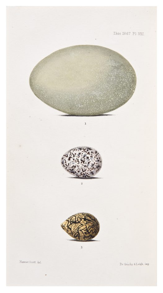 Illustration of eggs by Harriet Scott